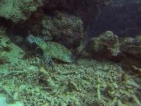 Australien: Schildkröte am Great Barrier Reef