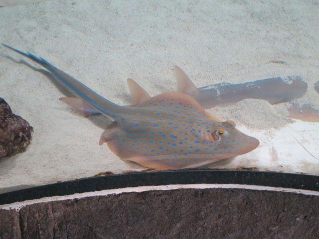 Townsville Aquarium: Stachelrochen
