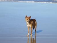 Fraser Island: Dingo