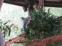 Australia Zoo: Koala