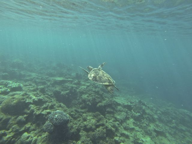 Australien: Schildkröte von den Whitsunday Islands
