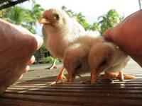 Cookinseln: Küken auf Aitutaki