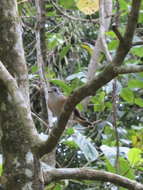 Atiu: Rarotonga Flycatcher