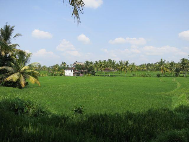 Reisfelder rundum Ubud
