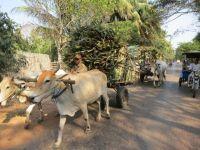 Angkor: Viehtransport