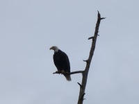 Port Hardy: Weißkopfseeadler