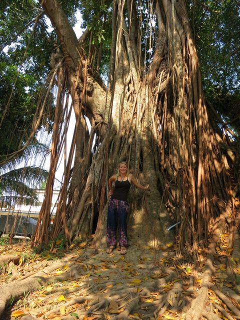 Luang Prabang: Bodhibaum
