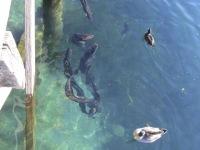 Neuseeland: Aale im Wanaka-See