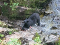 USA: Schwarzbär im Anan Creek, Alaska