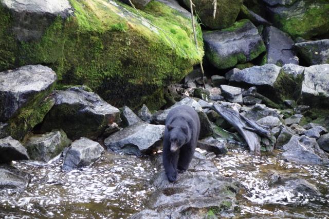 USA: Schwarzbär am Anan Creek, Alaska
