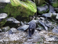 USA: Schwarzbär am Anan Creek, Alaska