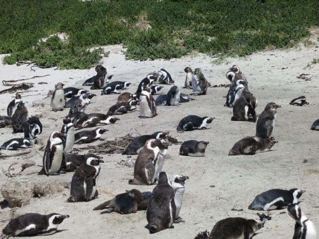 Boulders Beach: Pinguine