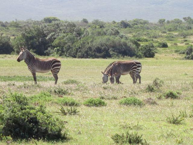 De Hoop: unsere ersten Zebras