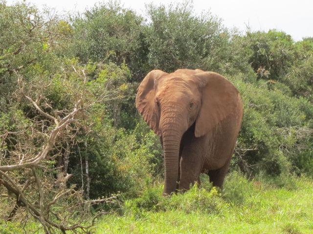 Addo Elephant Park: unser erster Elefant