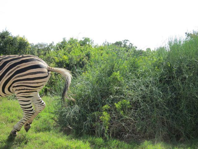 Addo Elephant Park: Zebra