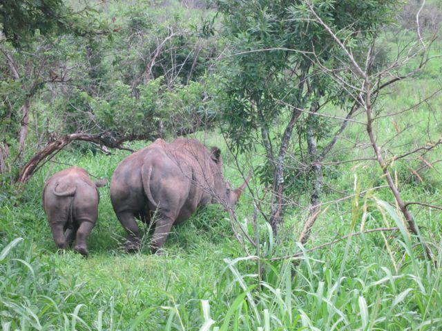 Hluhluwe-Imfolozi Park: Nashorn