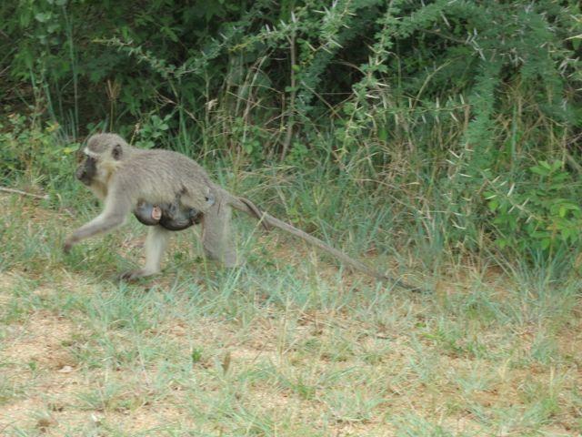 Krüger Nationalpark: Affe mit Jungem