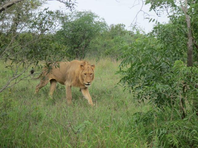 Krüger Nationalpark: Löwe