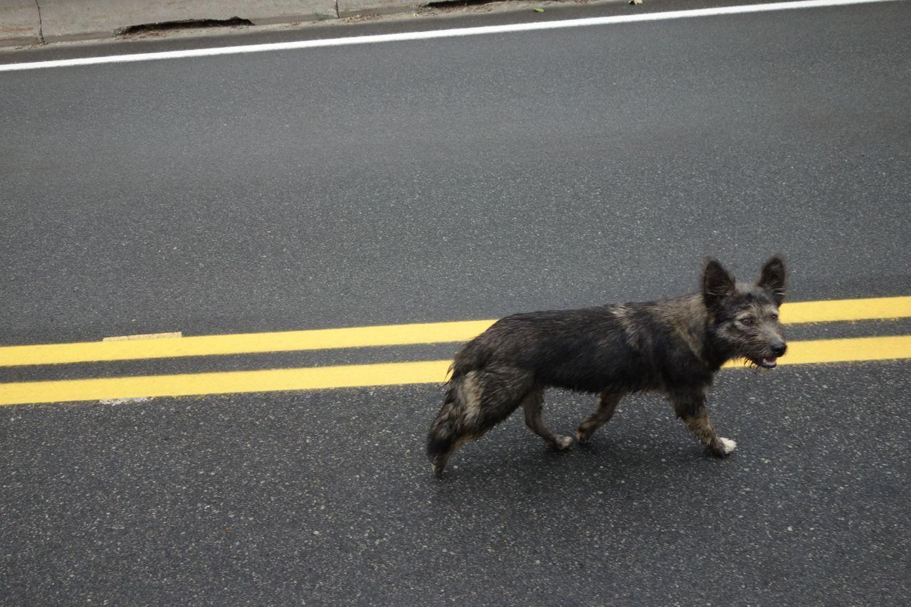 Kanada: Kojote auf dem Highway