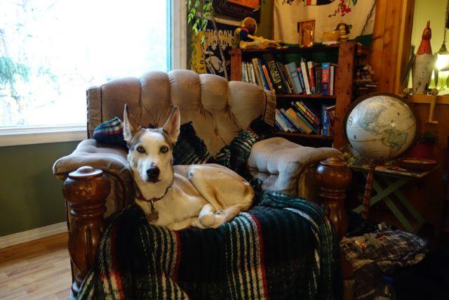 Kanada: Schlittenhund Bertha im Beez Kneez Bakpackers in Whitehorse
